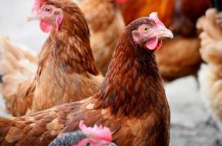 Evonik lança o quinto aminoácido para a nutrição animal