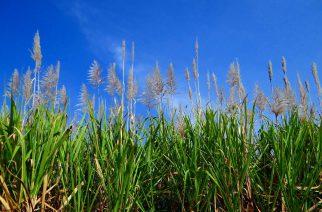BASF apresenta soluções para cana-de-açúcar
