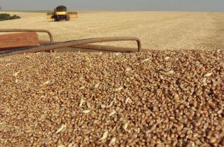 Colheita de trigo no município de Luiziana, região Centro-Oeste do Paraná.