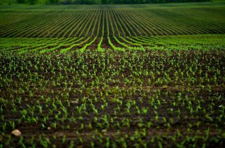 Corn Fields - Agriculture Photo Theme. Small Corn Plants Horizontal Photo.