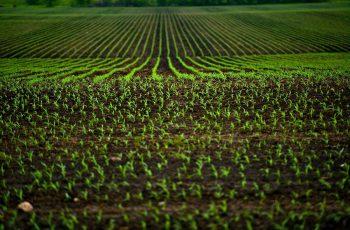 Corn Fields - Agriculture Photo Theme. Small Corn Plants Horizontal Photo.