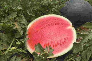 Pingo Doce pode estimular o consumo de melancia no Brasil seguindo modelo espanhol