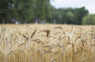 BASF desenvolve semente híbrida de arroz para aumentar produtividade
